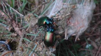 Andırın 'da ormanları 'terminatör böcek' koruyacak