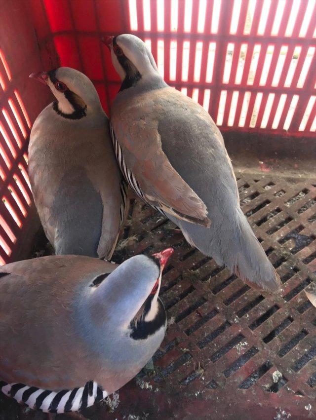 Kahramanmaraş'ta Kınalı Keklik Avcılarına Para Cezası
