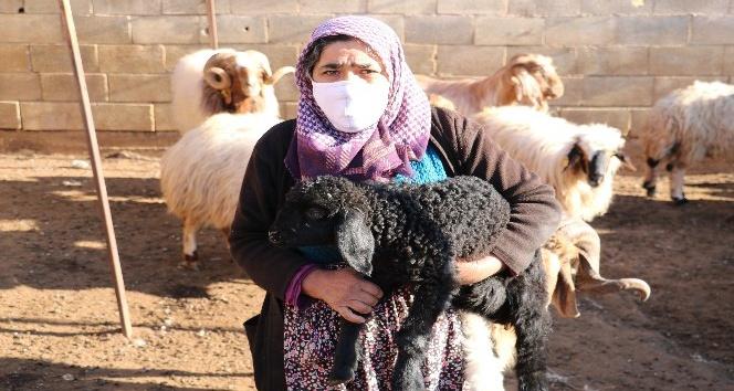 Hayvanları çalınan kadının gözyaşları
