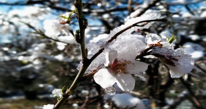 Badem ağaçları kış ortasında çiçek açtı
