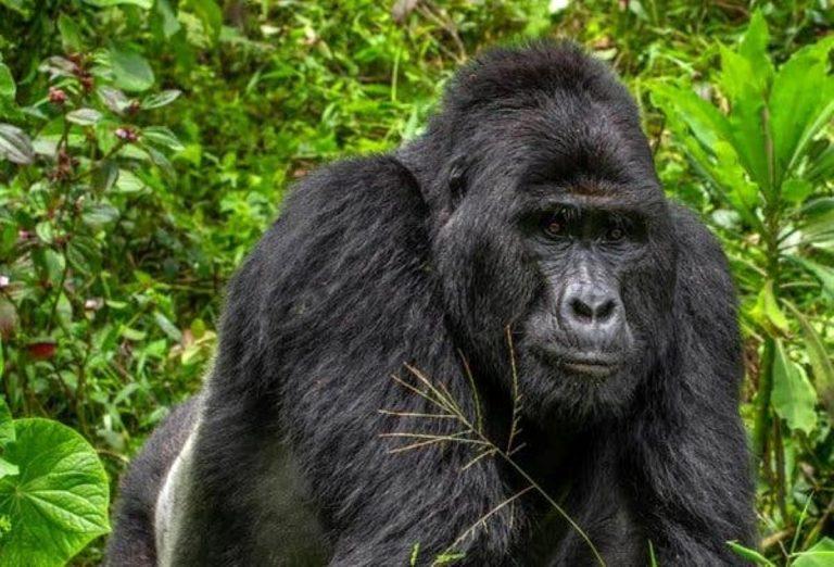 Koronavirüs gorillere de bulaştı